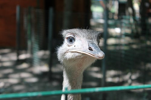 Free stock photo of ostrich, zoo