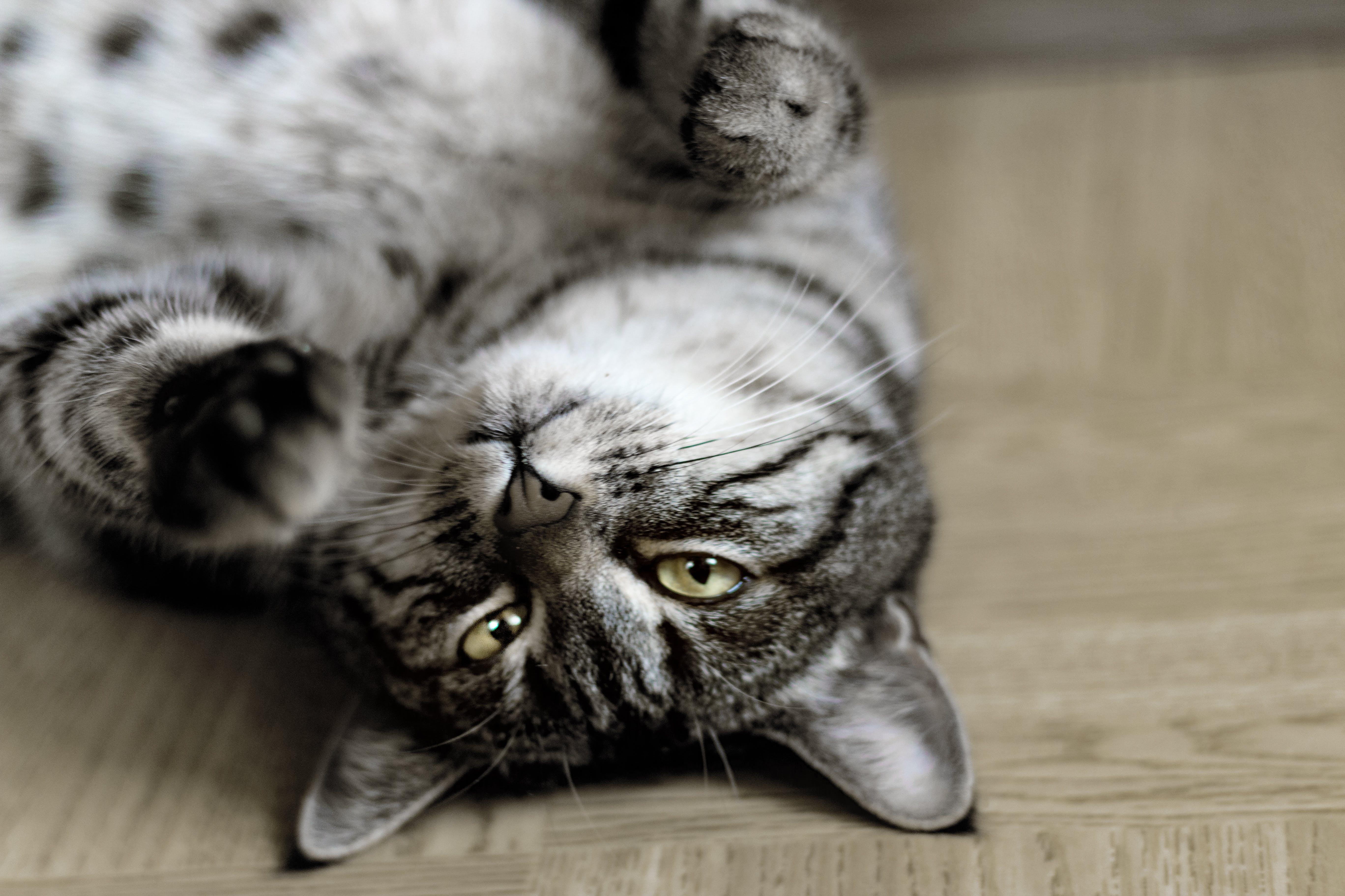 Silver Tabby Cat Lying on Floor Inside Room