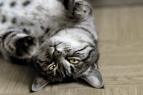 Silver Tabby Cat Lying on Floor Inside Room