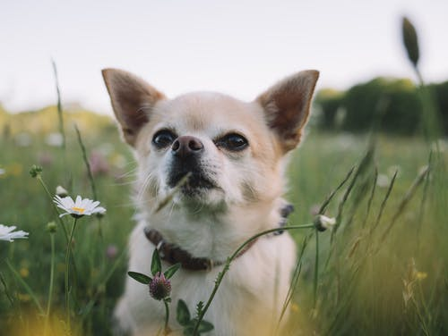 Obedient purebred little dog relaxing in rural field