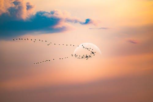 Flock of migrating birds flying in sunset sky
