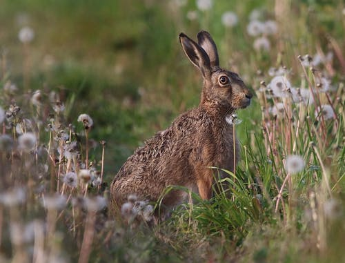 Side view of cute brown hare grazing on green grassy field with white dandelions