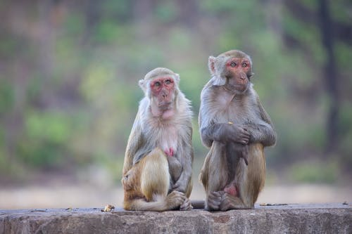 Shallow Focus of Rhesus Macaque Monkeys