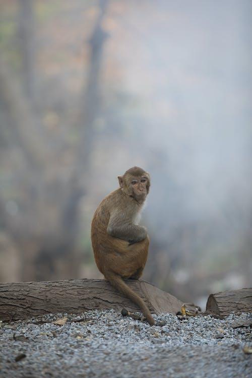 Rhesus Macaque Monkey on Wooden Log