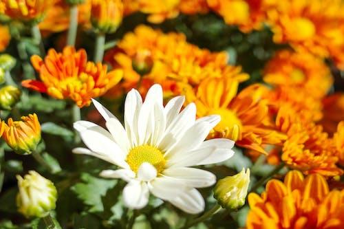 계절, 국화, 꽃의 무료 스톡 사진