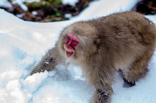 Brown Monkey on Snow Covered Ground