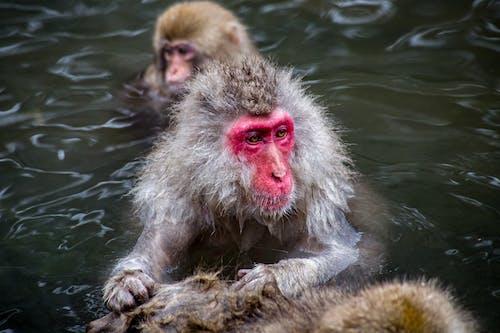 White Monkey in Water