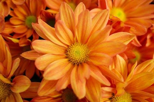 Bouquet of gentle Chrysanthemum morifolium flowers