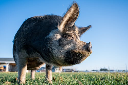 Hairy swine standing on grassy meadow in village