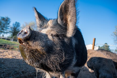 Cute hairy kunekune domestic pig sniffing air while grazing in yard of farm on sunny day