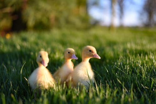 Ground level of adorable fluffy yellow ducklings walking in green grassy meadow on sunny day
