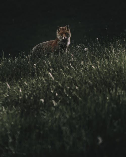 Curious red fox in wild nature