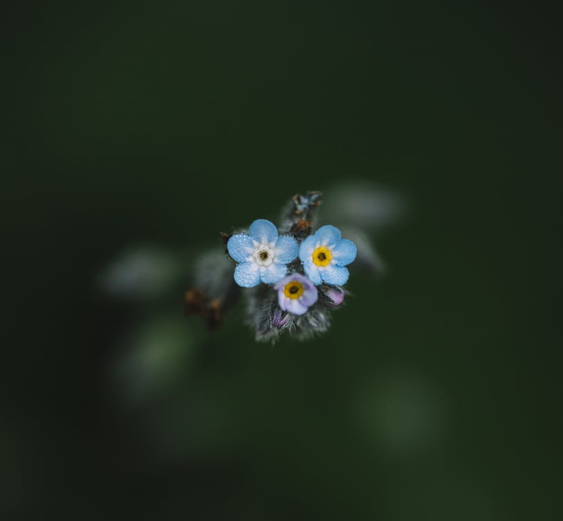 From above of small blossoming scorpion grasses with tender blue petals growing in park