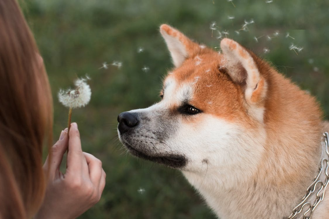 Owner blowing dandelion to muzzle of calm fluffy purebred dog