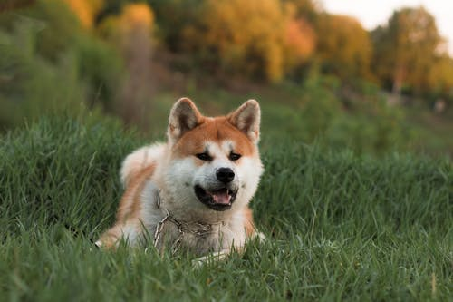 Adorable Shiba Inu dog with open jaws wearing collar lying on green grass with trees behind