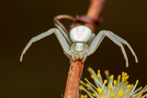 Small flower spider with two front pairs of legs crawling on thin twig