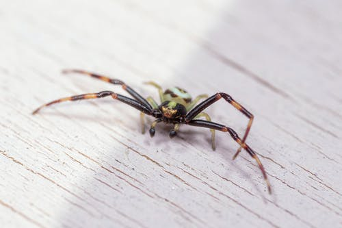 Creepy Misumena Vatia species of crab spider crawling on white wooden table at daylight