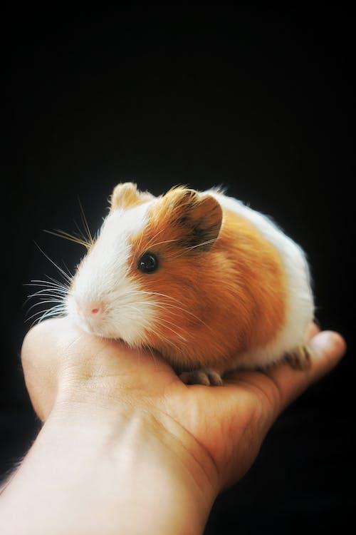 Close Up Photo of Guinea Pig