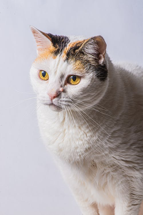 Muzzle of fluffy white domestic cat sitting against white background and looking away