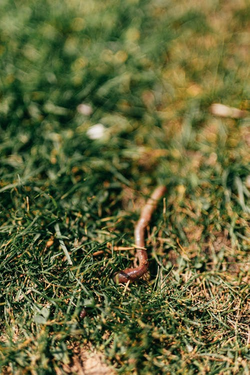 From above lawn covered with green grass with crawling red earthworm during summer day in nature
