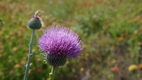 Free stock photo of country, flower, milk thistle