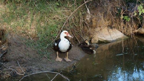 Free stock photo of animal, bird, creek
