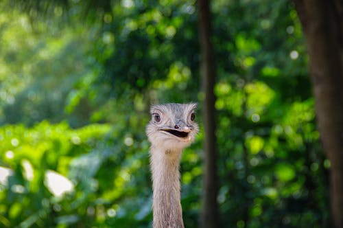 Funny ostrich with mouth opened in green forest