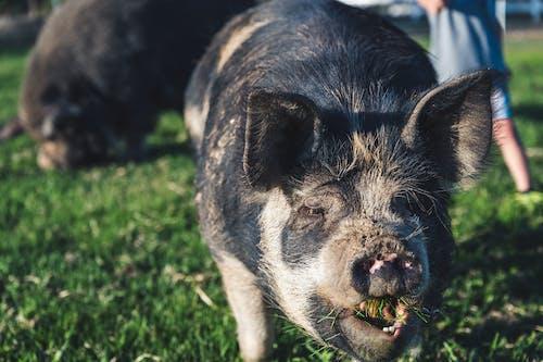 Black kune kune pig eating in farmland