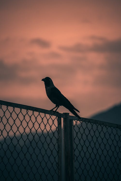 Silhouette of Bird on Fence during Sunset