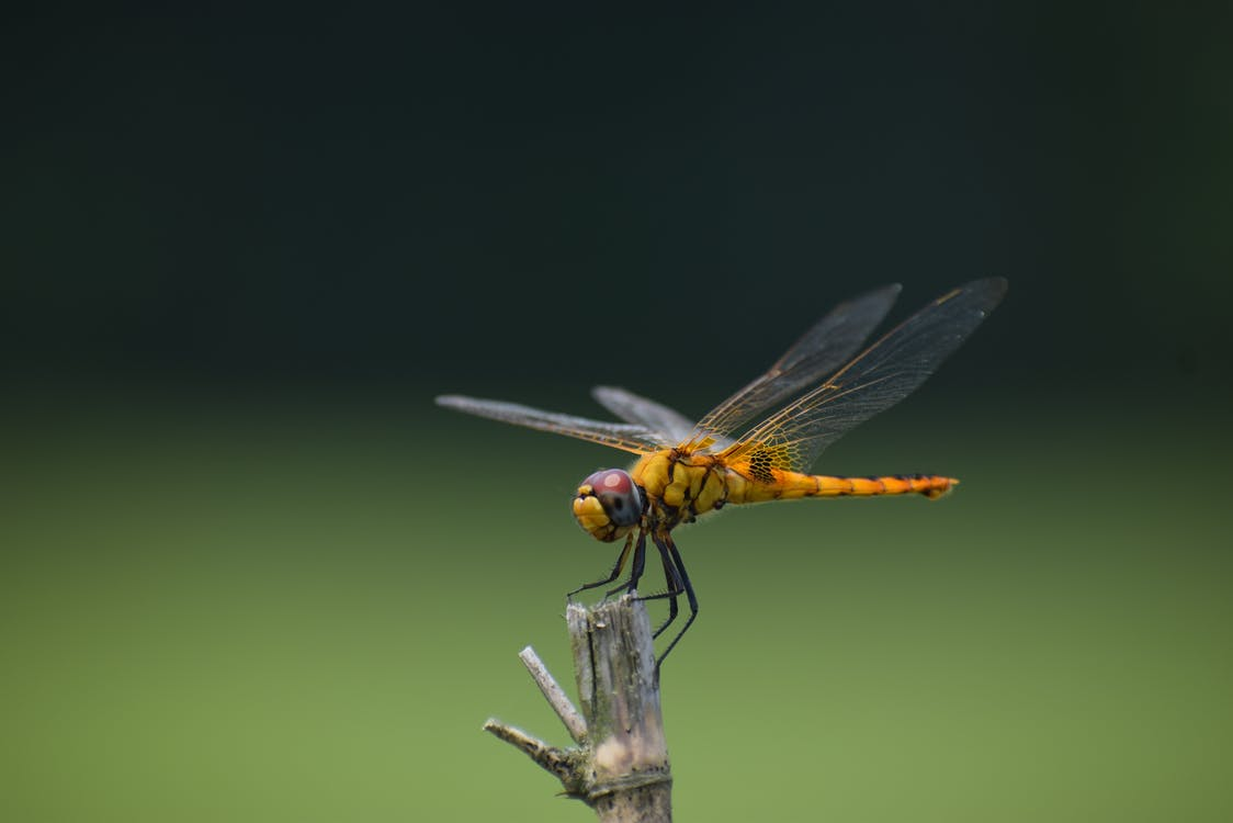Yellow and Black Dragonfly on Brown Stick in Close Up Photography