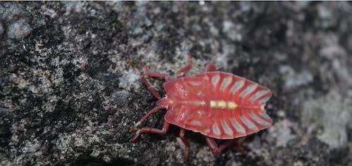 Immagine gratuita di insetto, insetto rosso, natura, nepal