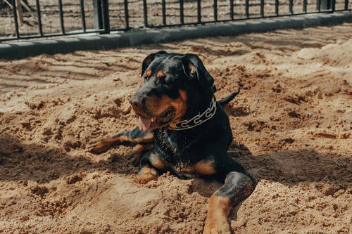 Rottweiler dog lying near black fence