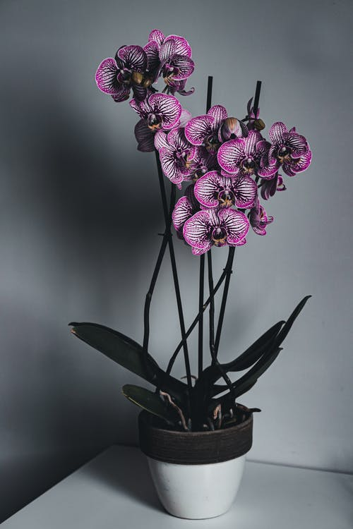 Graceful potted Doritaenopsis orchids placed on table