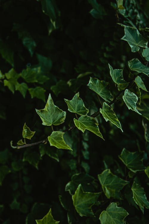 From above of lush leaves of common ivy evergreen flowering plant growing on ground in park