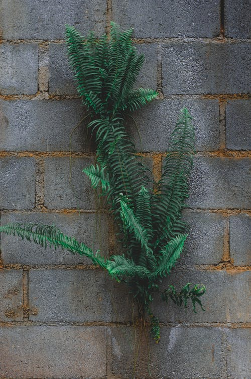Free stock photo of bindweed, block wall, fern