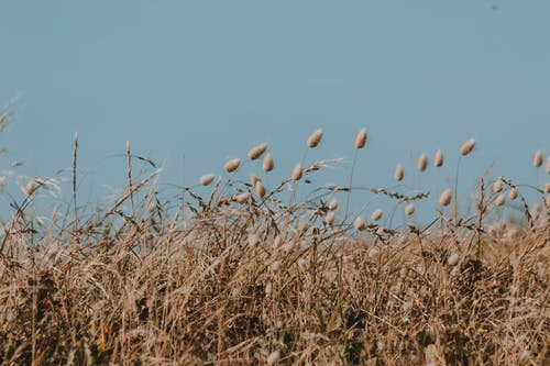 Light blue cloudless sky above dry flowers of bunnytail on long thin stem surrounded by grass