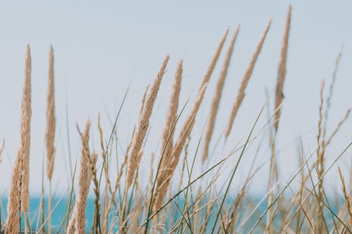 Long beige fluffy dry grass ears on thin stems on coast of blue calm ocean in daylight on blurred background