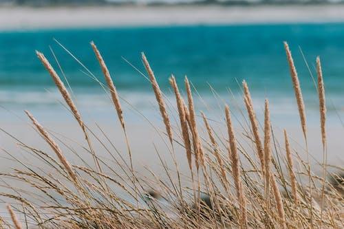 Dry grass ears on stems on coast of lagoon