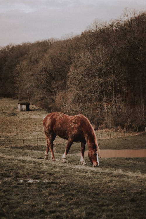 Side view of chestnut Suffolk Horse grazing on green pasture near leafless tress in countryside