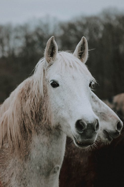 Purebred gray horse in pasture on overcast day