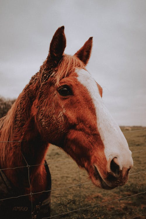 Chestnut trotting horse in paddock in countryside