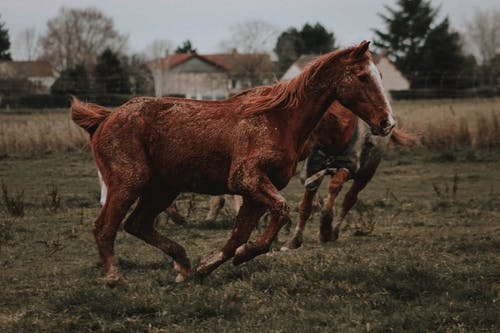 Purebred horses running in paddock in ranch