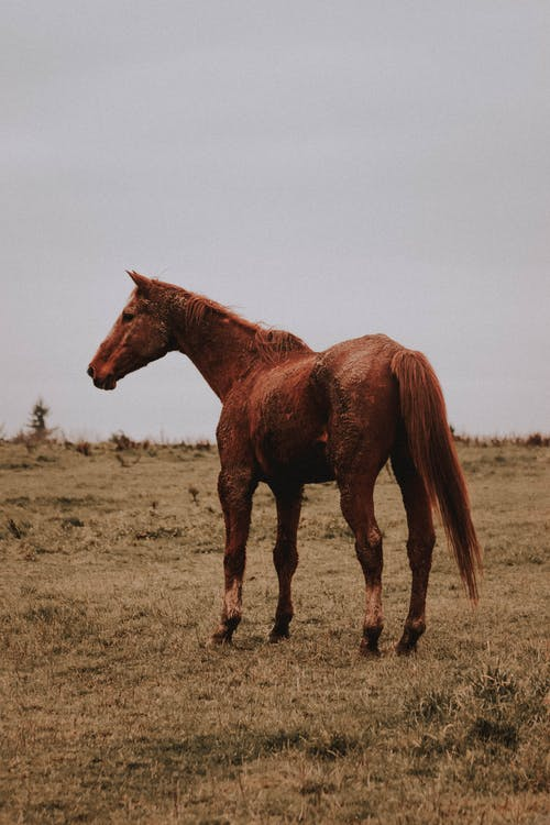 Side view of graceful chestnut American Quarter Horse standing on dry grassy field under gray cloudy sky in farmland