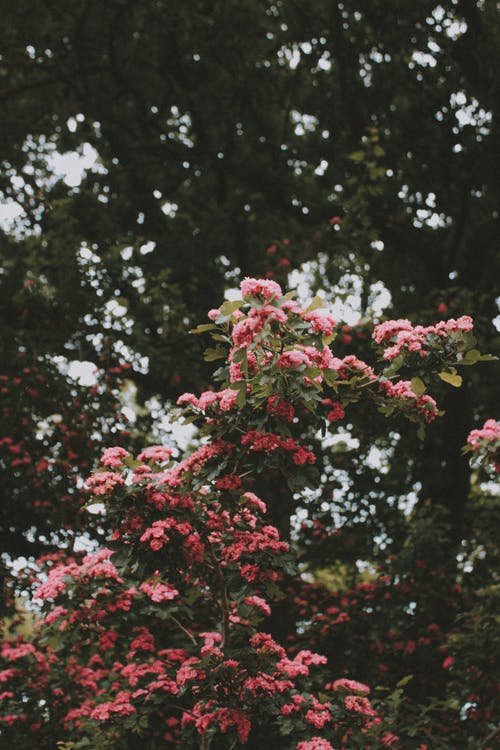 Blooming Lagerstroemia indica tree in green park