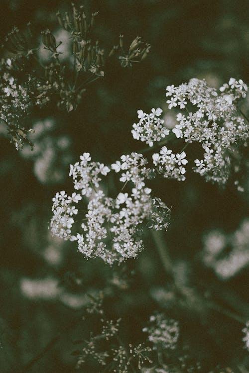 Anthriscus sylvestris wildflowers growing in field