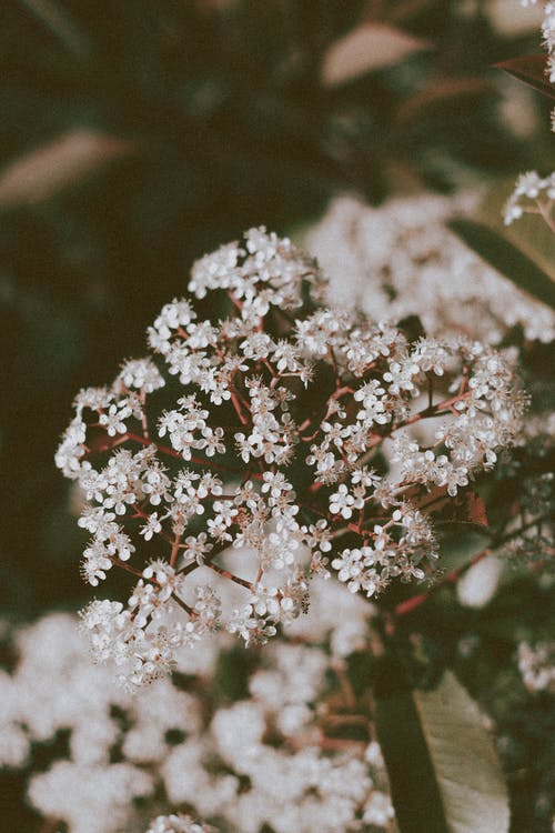 Tiny white Anthriscus sylvestris wildflowers in garden