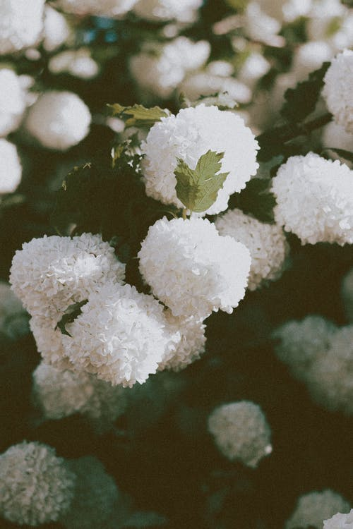 Ball shaped white flowers of Viburnum opulus plant