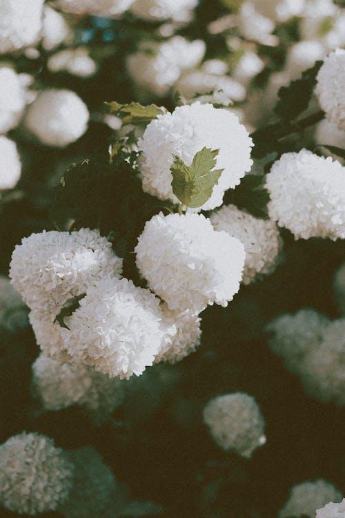 Ball shaped white flowers of Viburnum opulus plant