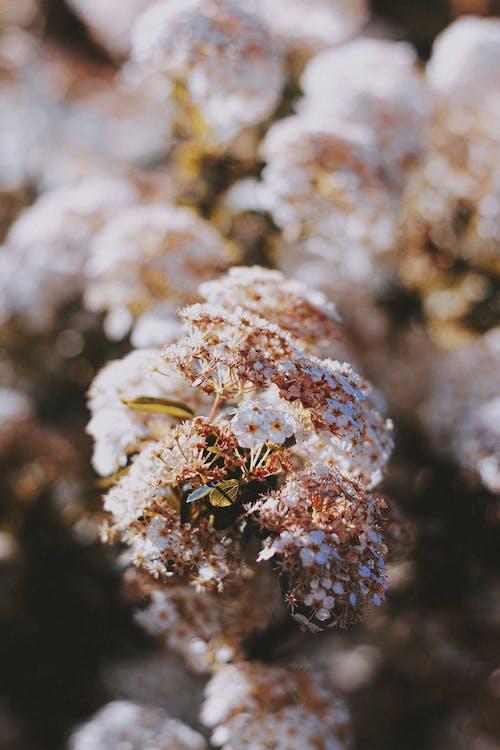 Korean spice viburnum flowering plant blooming in garden