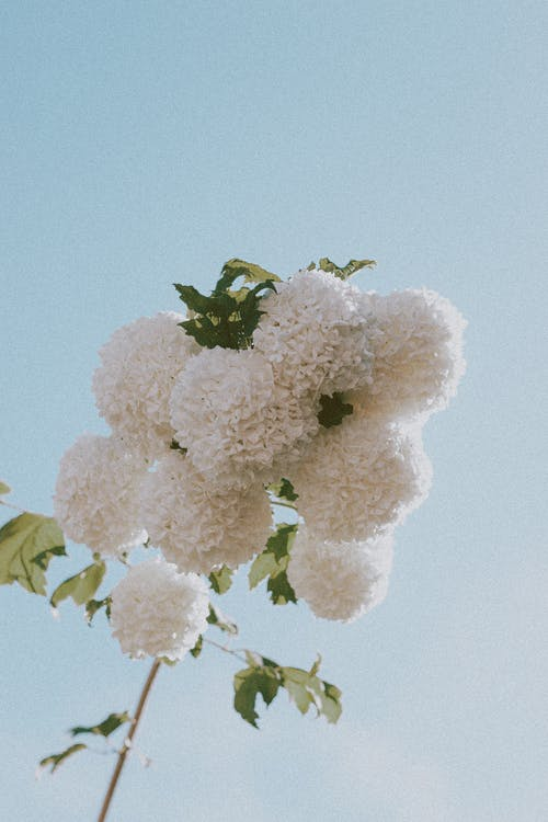 From below of gentle white snowball shaped flowers of guelder rose plant against cloudless blue sky